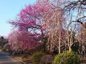 散歩道の梅、枝垂梅